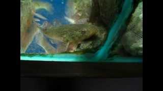 [高雄 山水水族量販] 筍殼魚8-9CM
