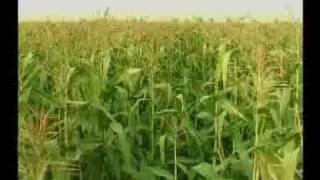 Makai ya Maize ki paidawari technology Pakistan Part -1: Dr.M.Ashraf Sahibzada