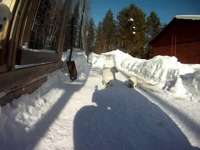 Kenneli TassunTaikaa valkoinen ruotsinhirvikoira