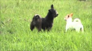 Black Betty - Shih-tzu/terrier Mix Adoptable