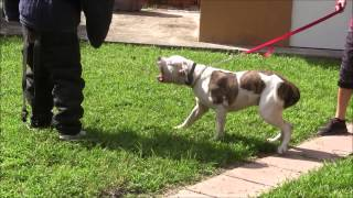 American Bulldog has lost his mind! RED ZONE DOG bites Miami Dog Whisperer