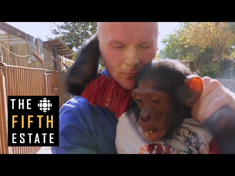 Q&A : Spencer Sekyer's quest to save Manno the chimp - the fifth estate