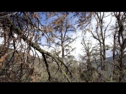 """""""Ghost forests"""" an eerie sign of climate change"""