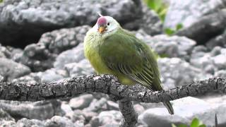 Atoll Fruit Doves, 7th September 2013, Tenararo Island, SE Pacific