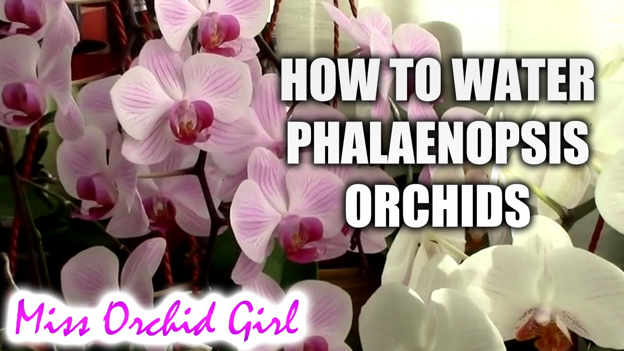 How To Water Phalaenopsis Orchids