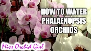 How to water Phalaenopsis orchids - tips for a healthy orchid
