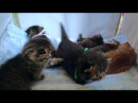 Британские котята в возрасте 20 дней (Litter-H2)