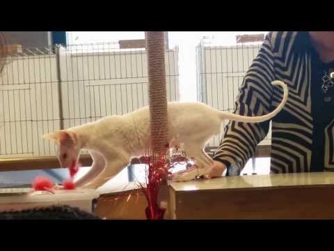 Cornish Rex at Pittsburgh Cat Show 2014-02-08