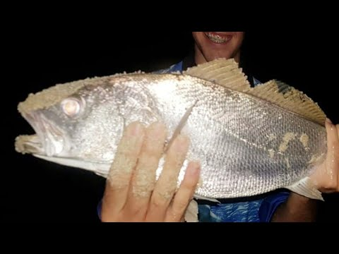 MULLOWAY BEACH FISHING SURPRISE CATCH ! COOKED UP WITH CHILLI TOMATO