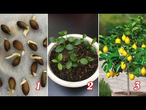 Trồng chanh từ hạt quả chanh mua ngoài chợ | Grow lemons from seeds
