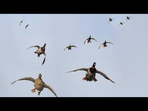 Duck Hunting || Hunting Ducks With Shotgun - HD