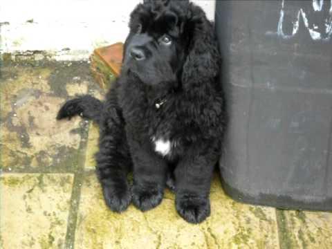 Newfoundland Saint Bernard Puppy You