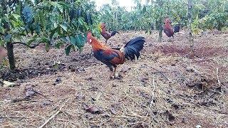 PENASARAN !!!Liat Cara Pasang Racik Tabur Sampai Ayam Hutan Bisa kenak jerat