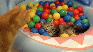 10 Cats playing in a pool of colorful balls  ボールプールで遊ぶ10匹の猫