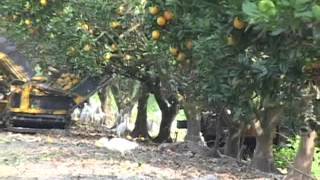 Trunk Shake and Catch Systems for Mechanically Harvesting Citrus in FL