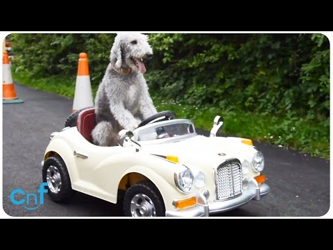 Dog Drives Rolls Royce | Ghost Riding the Whip