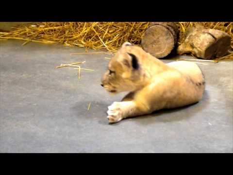 2 Month Old Lion Cub Update - Cincinnati Zoo