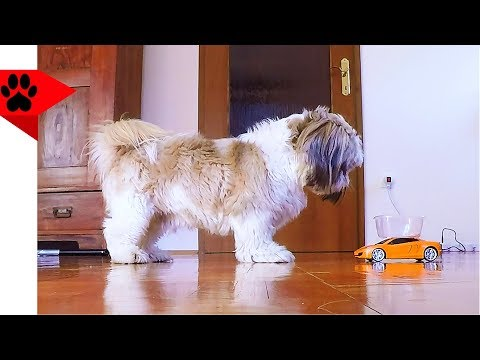 Dog Chasing a Bowl Attached to RC Car Prank 🏎️ | Dog Pranks