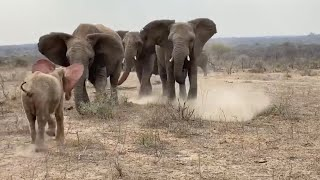 Albino Baby elephant Khanyisa's incredibly emotional greeting by the Jabulani Herd