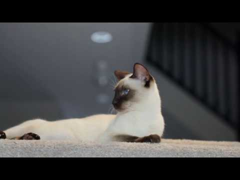 Siamese Cat Family in Action!