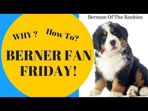 Why Blue Eyed Bernese Mountain Dogs? & Should you Adopt a Blue Eyed Berner?    Berner Fan Frida