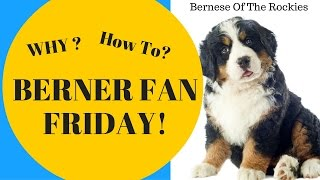 Why Blue Eyed Bernese Mountain Dogs? & Should you Adopt a Blue Eyed Berner?  | Berner Fan Frida