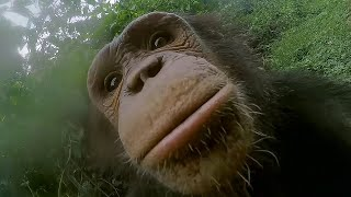 Surprising Chimp hand washing and cleaning routine! | Animals with Cameras | Earth Unplugged