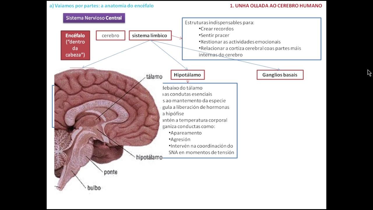 Atractivo Anatomía Del Ppt Cerebro Colección de Imágenes - Anatomía ...