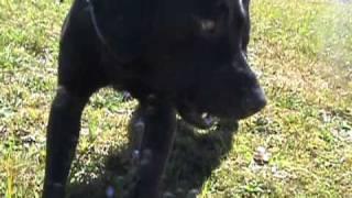 El Labrador Retriever Perro Acuatico