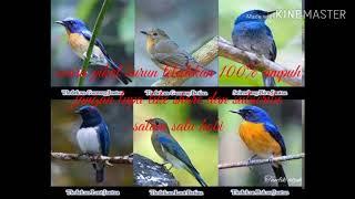 Suara pikat burung tledekan 100% ampuh