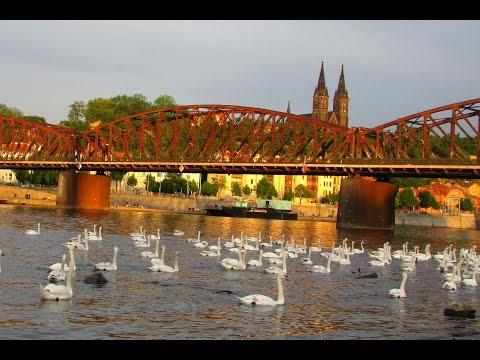 TRAVEL PRAGUE - AMAZING SWAN ON VLTAVA RIVER HD