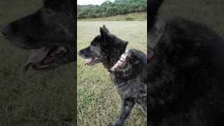 甲斐犬Mixのサンゴ(9歳♀) 大好きな公園でのお散歩で、後ろ脚をリハビ...