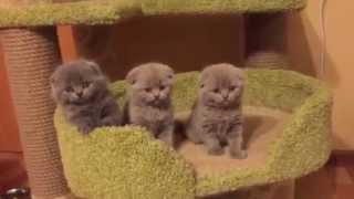 Шотландские вислоухие плюшевые малышки питомника Greycat