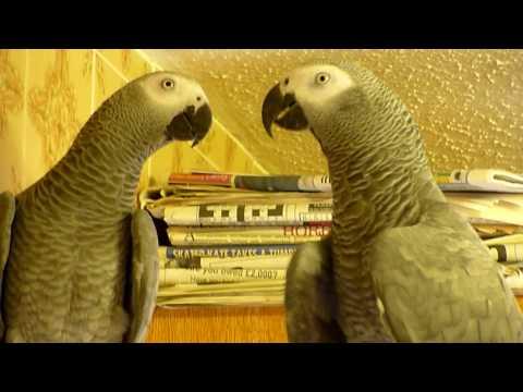 Mojo & Shinda, African Grey parrots