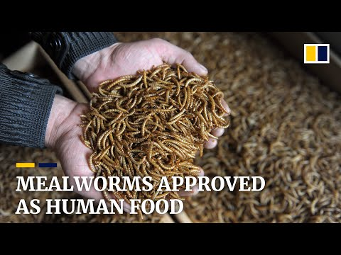 Mealworms approved as human food, first insect to get green light from European Union food agency