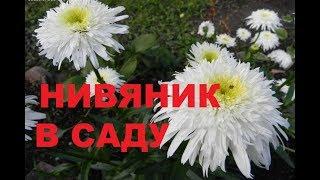 садовый ежедневник..почему мельчают цветы нивяника? садовая ромашка