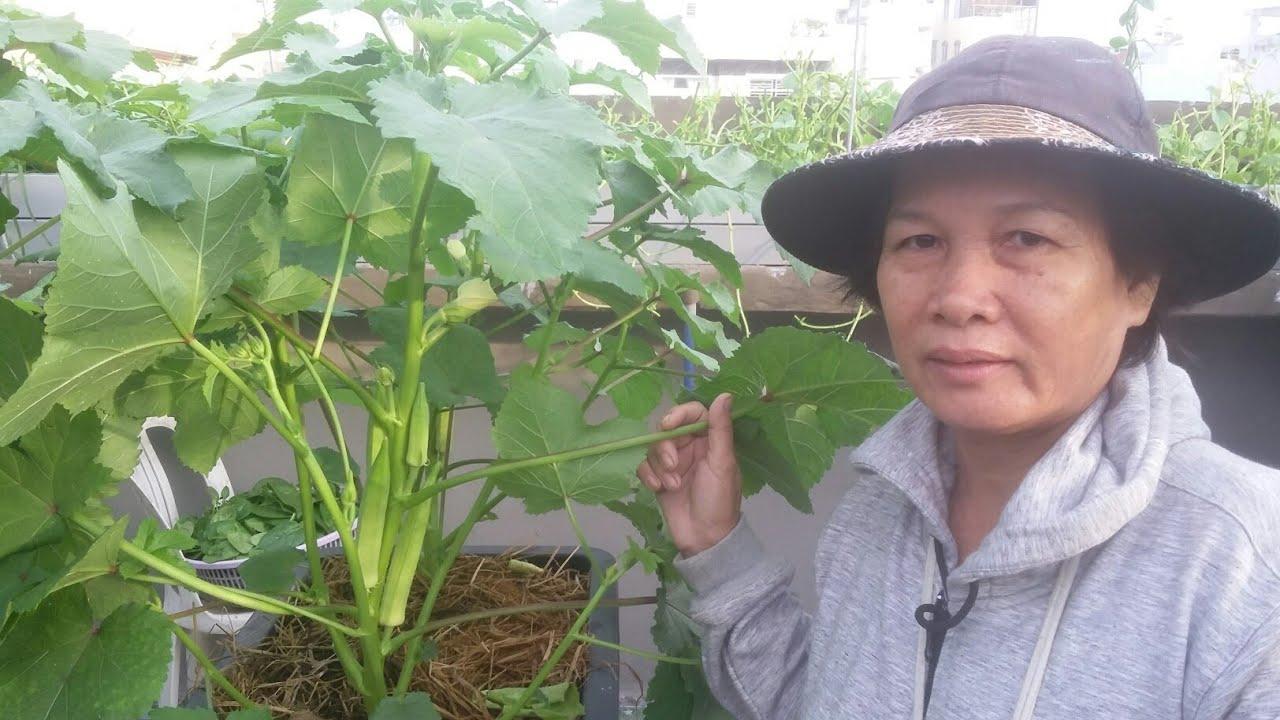 Xem Đậu Bắp trồng thùng thông minh ra trái nhiều ghê 10/5/2019 | Khoa Hien 185