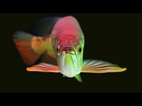 Important Tips On Arowana Fish Care   How To Care For Arowana