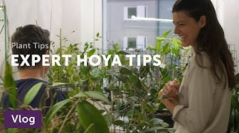 Hoya Care Tips from a Collector — Vlog 009
