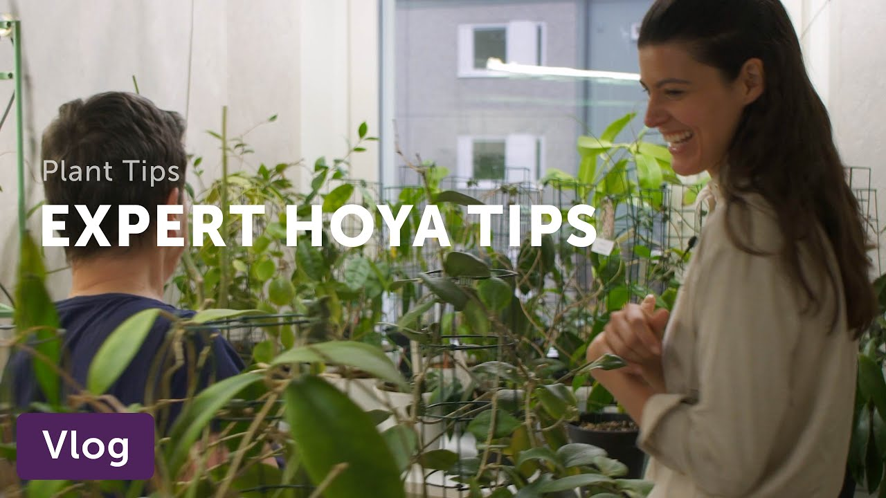 Download Hoya Care Tips from a Collector — Vlog 009