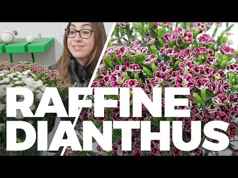 JFTV: Raffine Dianthus from Colombia with Ashley