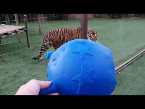 Round number two ,tigers vs blue ball!