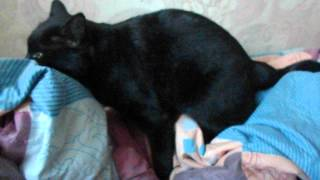 озабоченый кот