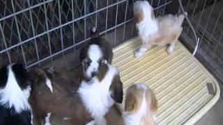 珍犬チベタン、テリアの仔犬 2012年4月4日生まれ5月17日撮影.
