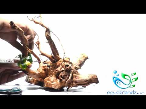 Aquascaping for beginners : How to tie plants to driftwood