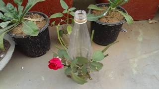 Rose grow in water /rose waterlayering / new style rose growing