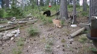 Кошка гоняет медведя
