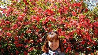 Цветы райского сада. Айва - японская роза