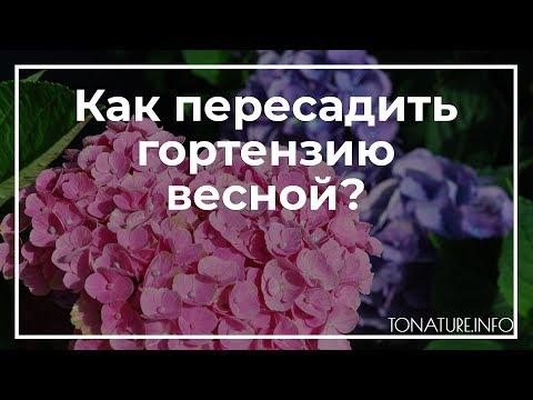 Как пересадить гортензию весной? | toNature.Info