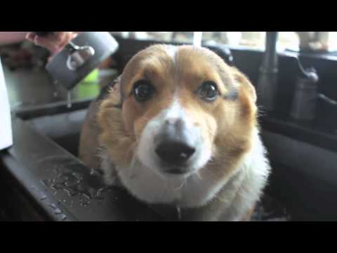Corgi takes a bath